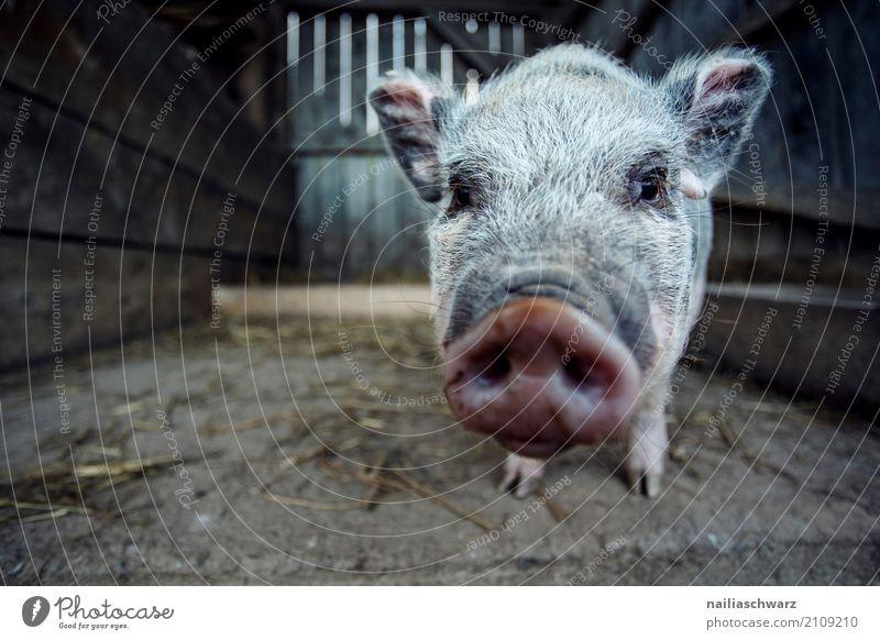 Minischwein Natur Sommer Tier Freude Gesundheit natürlich Glück rosa träumen Idylle Fröhlichkeit niedlich beobachten Freundlichkeit Neugier Alpen