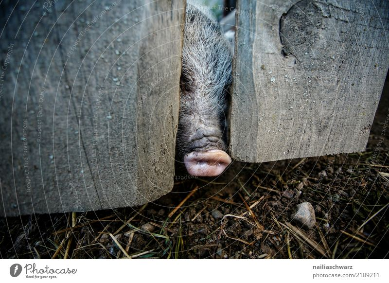 Minischwein am Zaun Sommer Umwelt Natur Landschaft Alpen Tier Haustier Nutztier Tiergesicht Schwein 1 Holz Schweinestall Stall beobachten Blick natürlich