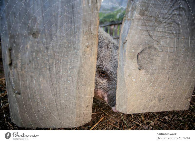 Minipig Sommer Landwirtschaft Forstwirtschaft Tier Haustier Nutztier Tiergesicht Schwein Minischwein 1 Holzzaun Zaun beobachten Fressen Blick Fröhlichkeit Glück