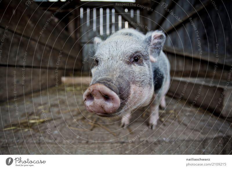 Minipig Sommer Tier Freude lustig natürlich Holz rosa Freizeit & Hobby Idylle Fröhlichkeit niedlich beobachten Neugier Landwirtschaft Dorf Bauernhof