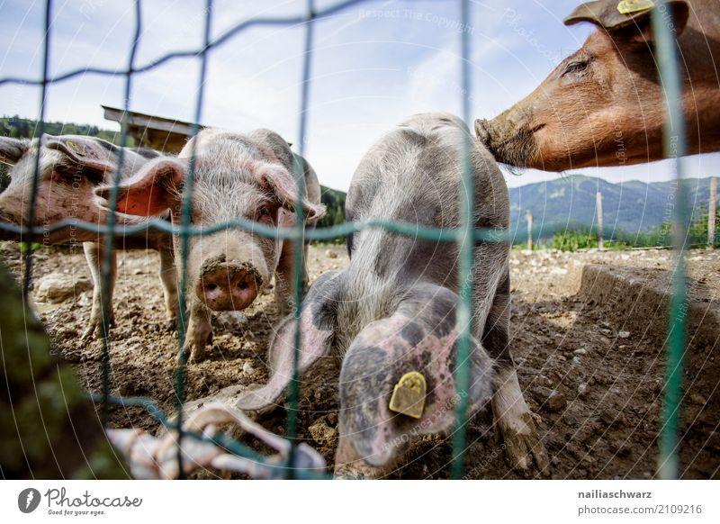 Schweinefarm blau Sommer Erholung Tier Freude lustig natürlich Glück rosa Freundschaft dreckig Kommunizieren Idylle Fröhlichkeit Tiergruppe niedlich