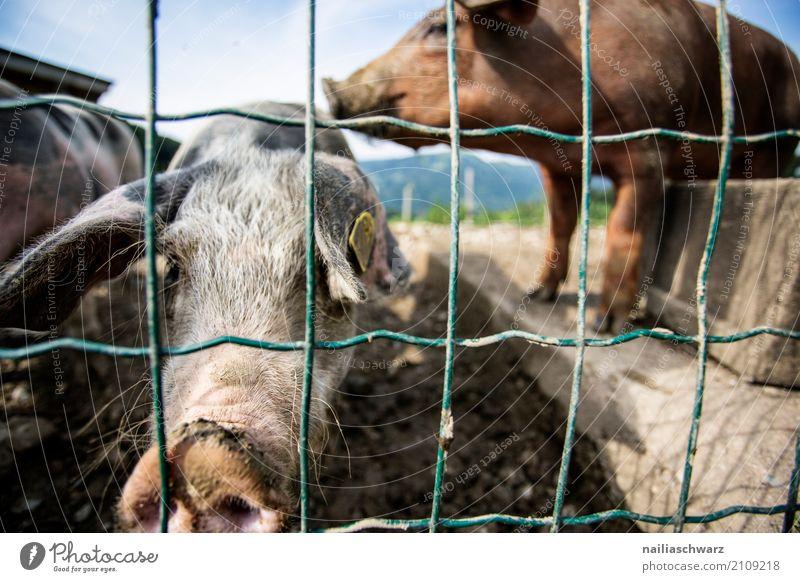 Schweinefarm Sommer Bauernhof Landwirt Landwirtschaft Forstwirtschaft Alpen Tier Nutztier 2 Zaun beobachten entdecken Erholung Küssen stehen dreckig natürlich