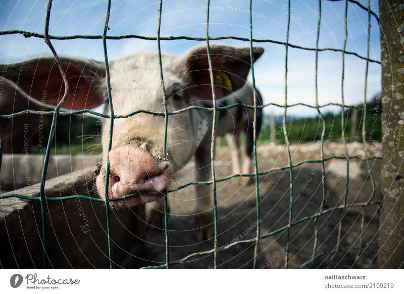 Schweinestall in Alpen Sommer Landwirtschaft Forstwirtschaft Umwelt Natur Landschaft Berge u. Gebirge Dorf Tier Haustier Nutztier 1 Zaun Stahl beobachten Blick