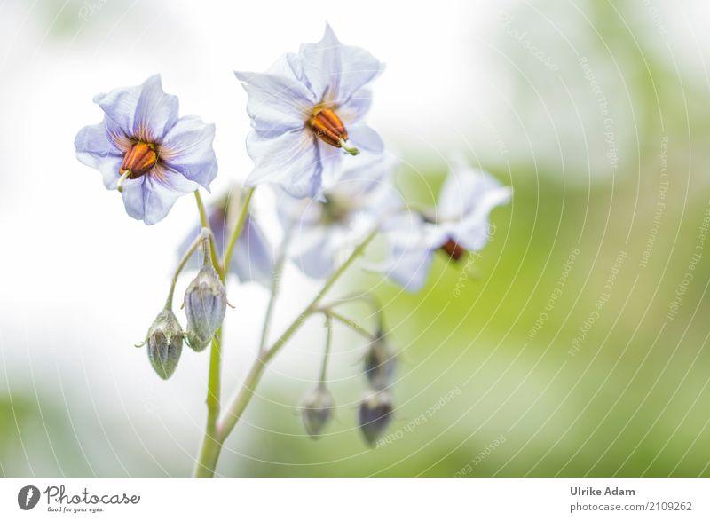 Kartoffelblüte ( Blauer Schwede ) Natur Pflanze Sommer Gesunde Ernährung Leben Umwelt Blüte Innenarchitektur Gesundheit Stil Garten Design Feld
