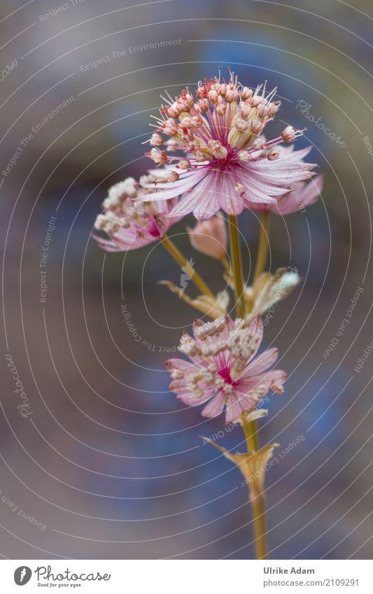 Sterndolde Natur Pflanze Sommer schön Blume Erholung ruhig Blüte Frühling natürlich Garten rosa Zufriedenheit Park Blühend Romantik