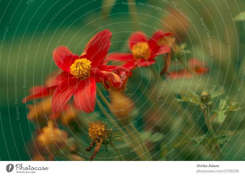 Rote Blumen Design einrichten Dekoration & Verzierung Tapete Bild Poster Natur Pflanze Sommer Herbst Blatt Blüte Topfpflanze Blütenstempel Garten Park Blühend