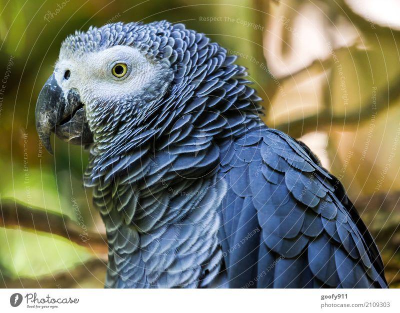 Seitenansicht!!!! Umwelt Natur Wald Urwald Südafrika Afrika Tier Wildtier Vogel Tiergesicht Flügel Zoo Papageienvogel 1 beobachten genießen