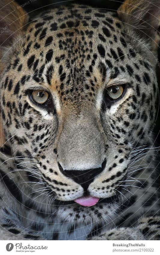 Schließen Sie herauf Porträt von Amur-Leopardmann, der Kamera betrachtet Natur Tier Wildtier Katze Tiergesicht Zoo 1 Blick schön wild Tierliebe Schnauze