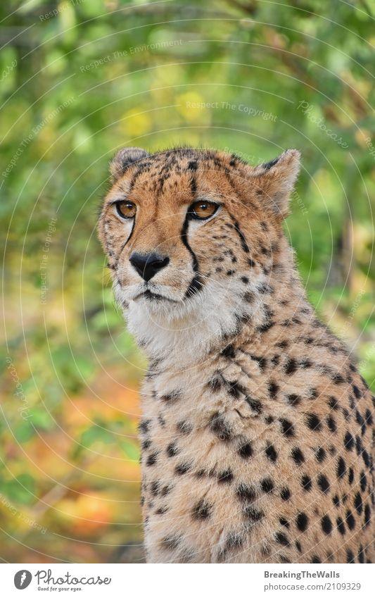 Schließen Sie herauf Porträt des Gepards Kamera betrachtend Natur Tier Herbst Wildtier Tiergesicht Zoo 1 Blick sitzen stehen schön wild grün Aussicht