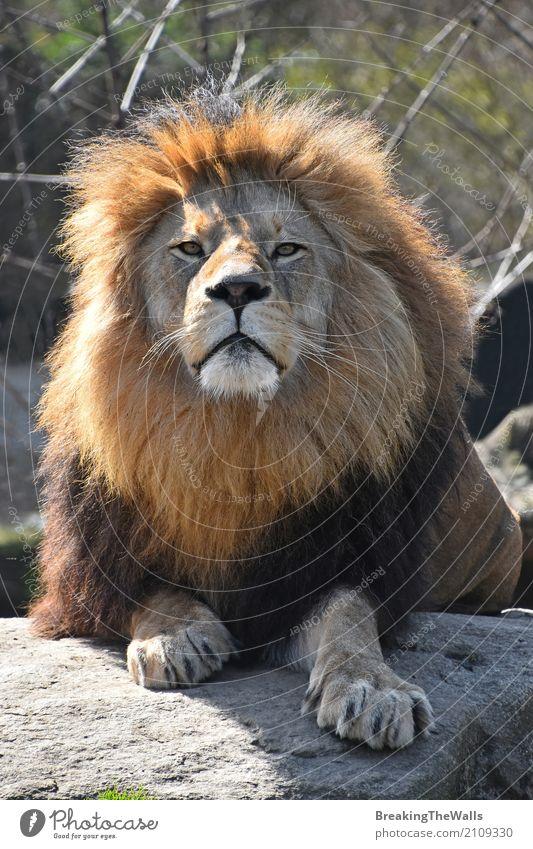 Schließen Sie herauf Porträt des männlichen afrikanischen Löwes mit der schönen Mähne Natur Tier Felsen Wildtier 1 Stein liegen Blick niedlich wild Macht