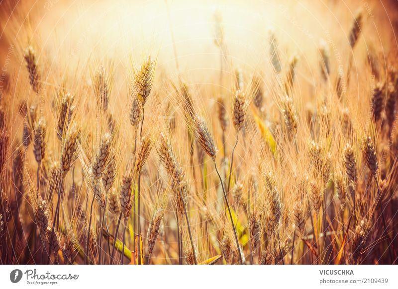 Goldene Ähren von Weizen auf Getreide Feld Lifestyle Design Sommer Erntedankfest Natur gelb Getreidefeld Getreideernte Sonnenuntergang Licht Landwirtschaft
