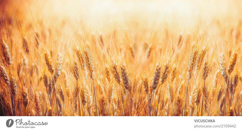 Goldenes Getreidefeld Design Sommer Natur Landschaft Herbst Schönes Wetter Pflanze Nutzpflanze Feld Fahne gelb Hintergrundbild Landwirtschaft gold reif Ernte