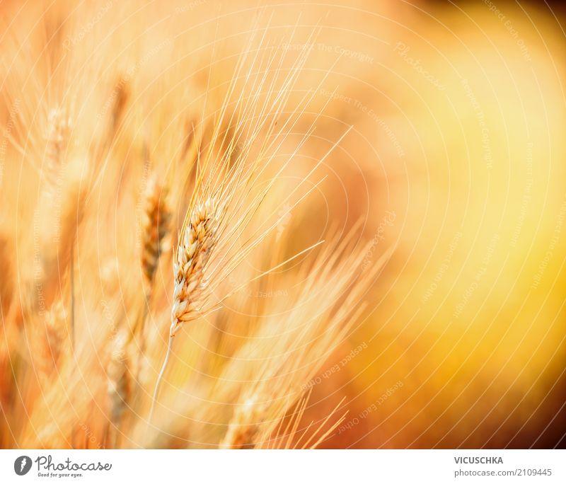 Nahaufnahme von Getreide Natur Sommer Gesunde Ernährung Landschaft gelb Lifestyle Hintergrundbild Design Feld Landwirtschaft Ernte Getreidefeld Getreideernte