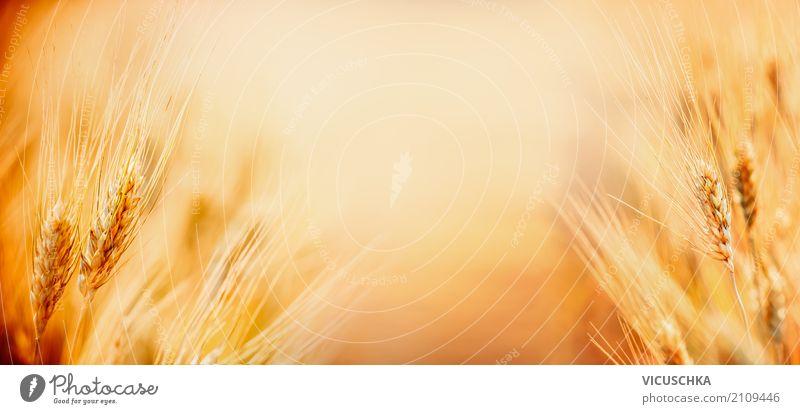 Natur Hintergrund mit Ähren von reifen Weizen auf Getreide Feld, Natur Sommer gelb Lifestyle Hintergrundbild Design Feld Schönes Wetter Landwirtschaft Fahne Ernte Getreide reif Weizen Ähren Getreidefeld