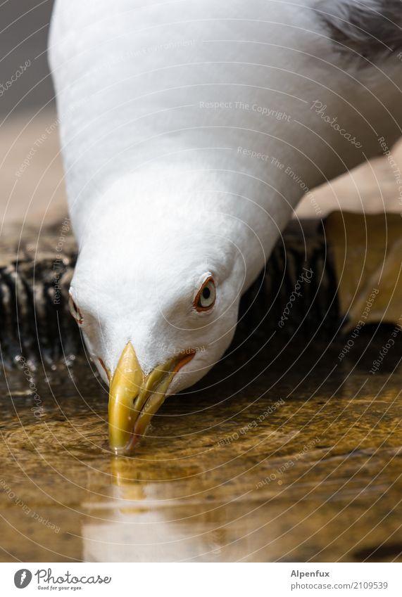 Prost! Tier Wildtier Vogel Tiergesicht Möwe Möwenvögel Schnabel 1 sitzen trinken bedrohlich Neugier Angst Alkoholsucht Wut Ärger Feindseligkeit Natur beobachten