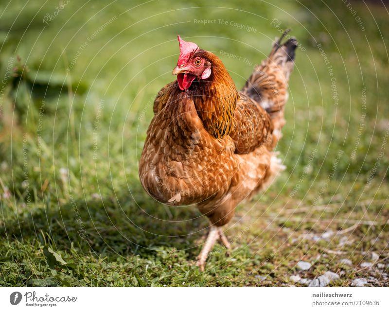 Huhn Natur Ferien & Urlaub & Reisen Sommer grün rot Tier Umwelt Wiese natürlich Gras Glück Feld niedlich beobachten entdecken Landwirtschaft