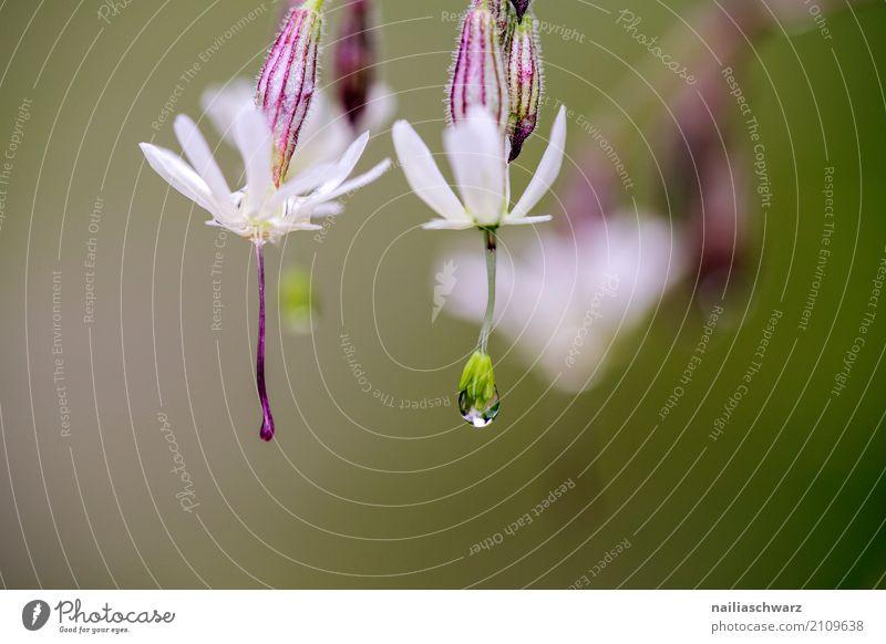 Klatschnelke in Morgentau Umwelt Natur Pflanze Wasser Wassertropfen Frühling Sommer Blume Blüte Silene vulgaris Leimkraut Garten Park Wiese Feld Alpen Blühend