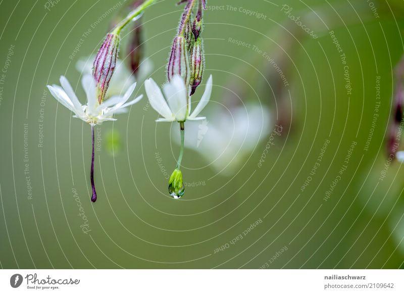 Klatschnelke im Morgentau Natur Pflanze Sommer schön grün Wasser weiß Berge u. Gebirge Umwelt Frühling Wiese natürlich Garten Regen Feld elegant