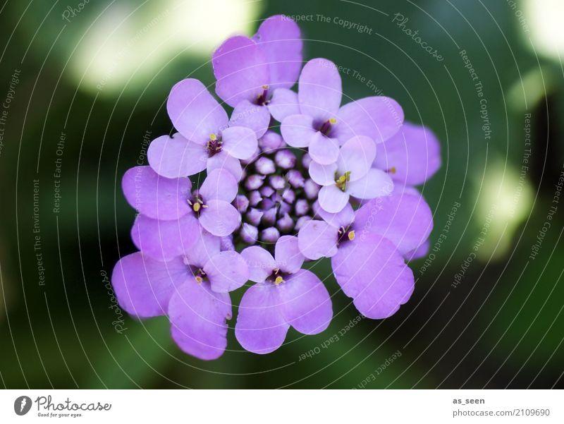 Lila Blümchen Wellness harmonisch Sinnesorgane ruhig Duft Garten Umwelt Natur Pflanze Frühling Sommer Blume Blatt Blüte Park Dekoration & Verzierung
