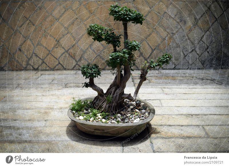 Bonsai Ferien & Urlaub & Reisen alt Erholung ruhig Gesundheit klein Garten Zufriedenheit Dekoration & Verzierung Wachstum ästhetisch einfach Pause Wellness