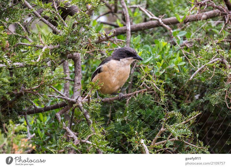 Auf dem Beobachtungsposten!!! Umwelt Natur Landschaft Frühling Sommer Schönes Wetter Baum Sträucher Blatt Wildpflanze Wald Urwald Nationalpark Südafrika Afrika
