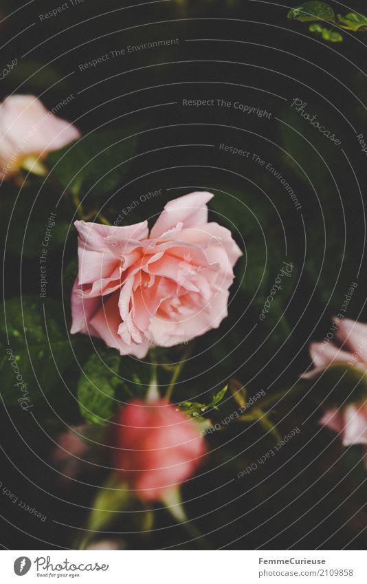 Roadtrip West Coast USA (226) Natur Idylle Rose Rosenblätter Rosenblüte Rosengarten Rosengewächse rosa Regen Wassertropfen Naturliebe Garten Park