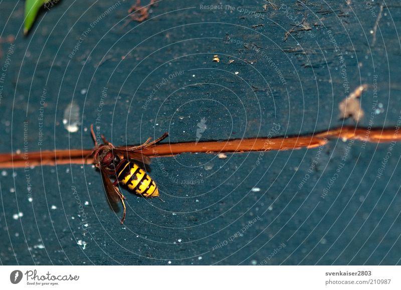 Hornisse auf Blau Natur blau Tier gelb Arbeit & Erwerbstätigkeit Holz Umwelt braun Wildtier krabbeln Makroaufnahme Hornissen