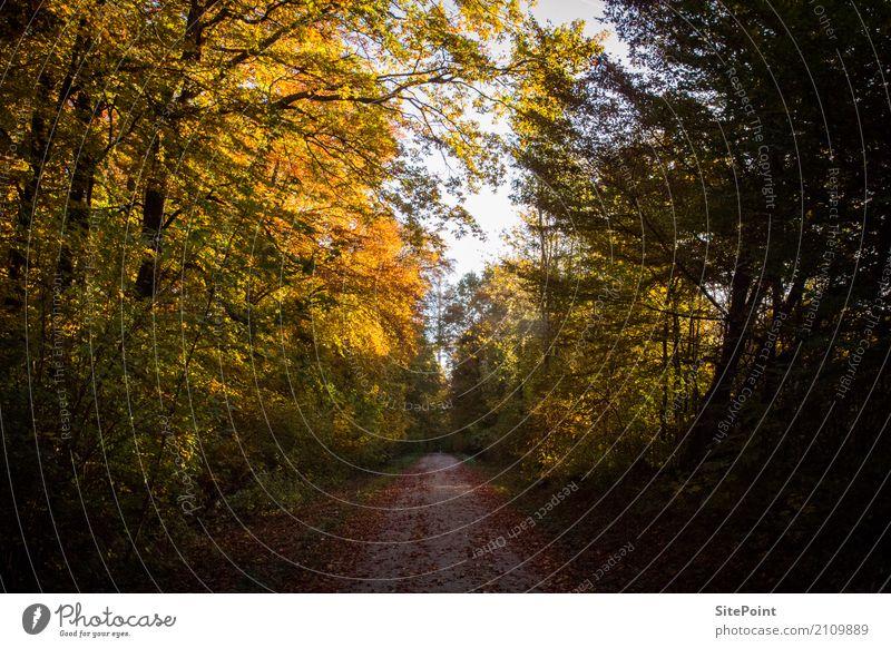 Waldspaziergang Herbst Schönes Wetter Baum Wildpflanze orange ruhig Waldweg Herbstlicht Farbfoto Gedeckte Farben Tag Licht Schatten Kontrast Blick nach vorn