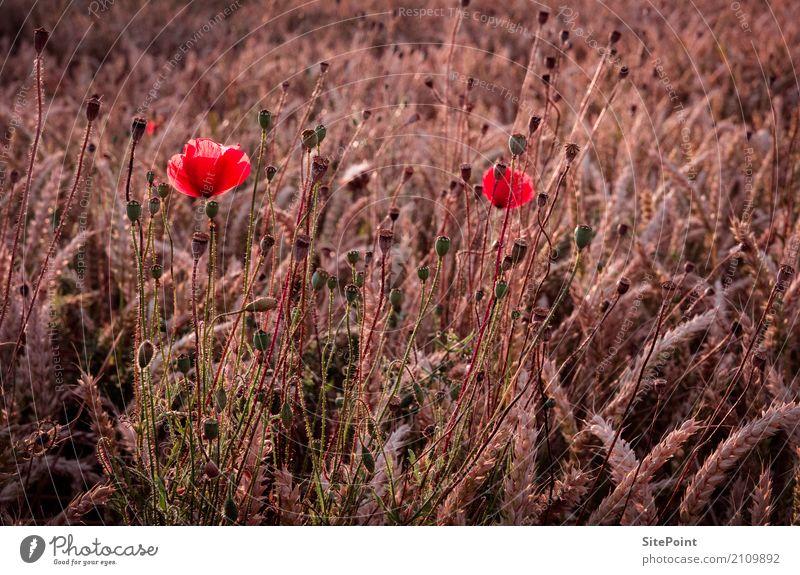 Mohn Natur Landschaft Pflanze Nutzpflanze Wiese Feld rosa rot Idylle ruhig Mohnblüte Weizenfeld Farbfoto Gedeckte Farben Außenaufnahme Dämmerung