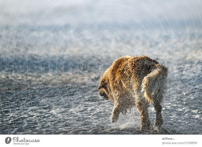 Hund schüttelt am Strand Wasser aus dem Fell Tier Haustier Golden Retriever nass schütteln Sandstrand Farbfoto Außenaufnahme