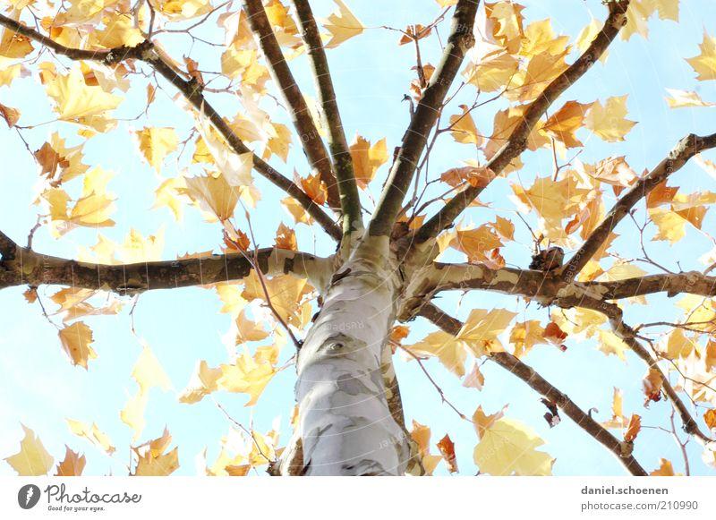 machen wir uns doch nichts vor !! Natur Himmel Baum blau Blatt gelb Herbst Wandel & Veränderung Klima Vergänglichkeit Ast Jahreszeiten Baumstamm Schönes Wetter