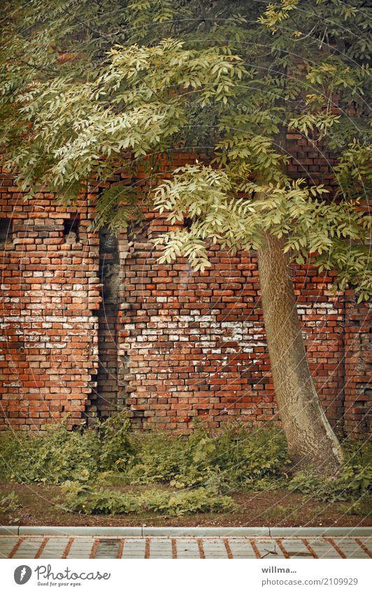 ihm wurde das korsett zu eng ... Baum Robinie Schmetterlingsblütler Bauwerk Mauer Wand Backsteinwand Ziegelbauweise Verfall Symbiose kaputt Farbfoto