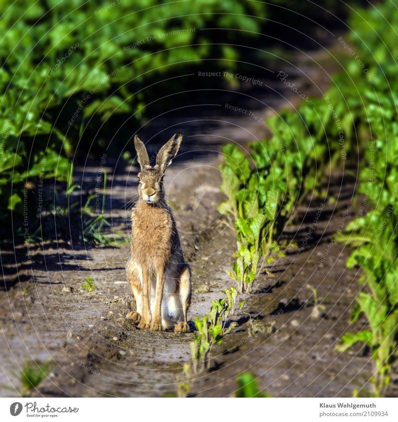 Mümmelmann Umwelt Natur Tier Sommer Pflanze Zuckerrübe Feld Fell Wildtier Tiergesicht Pfote Hase & Kaninchen 1 beobachten sitzen warten braun grau grün Jagd