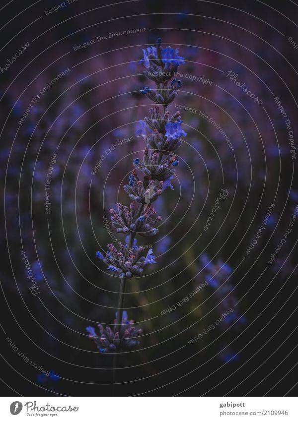 Flower Power 3 Umwelt Natur Landschaft Pflanze Sommer Blume Sträucher Blatt Blüte Nutzpflanze Wildpflanze Lavendel Blühend leuchten Duft exotisch Gesundheit