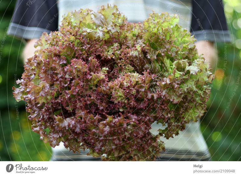 große Portion Lebensmittel Salat Salatbeilage Lollo rosso Ernährung Bioprodukte Vegetarische Ernährung Mensch maskulin Arme festhalten authentisch frisch