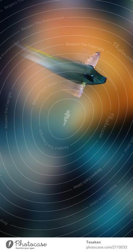 Flying Fish - fliegender Fisch Natur Wasser Tier Aquarium 1 Schwimmen & Baden ästhetisch außergewöhnlich elegant schön blau orange schwarz friedlich