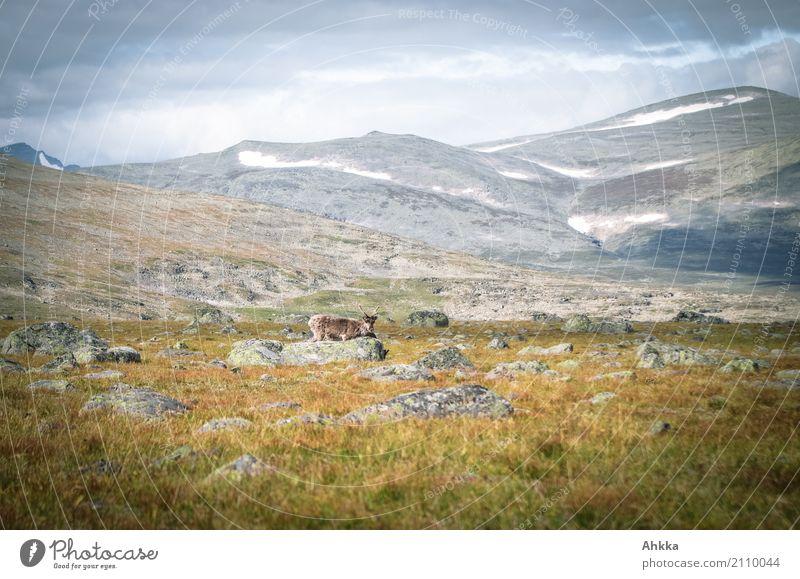 Rentiersichtung im Sarek, Schweden Natur Landschaft Berge u. Gebirge Umwelt wild Wildtier authentisch Gipfel entdecken