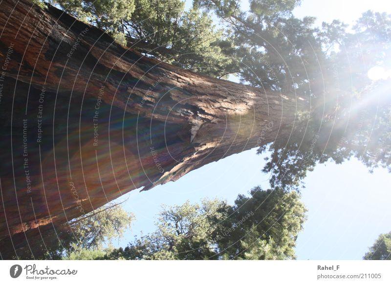 shining through Natur Baum grün ruhig Wald Leben Holz braun Kraft groß hoch Wachstum Schutz entdecken Baumstamm Urelemente