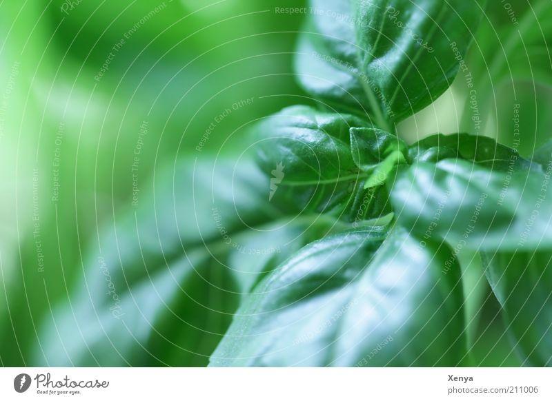Basilikum grün Pflanze glänzend frisch Kräuter & Gewürze lecker Grünpflanze Nutzpflanze Basilikum Makroaufnahme