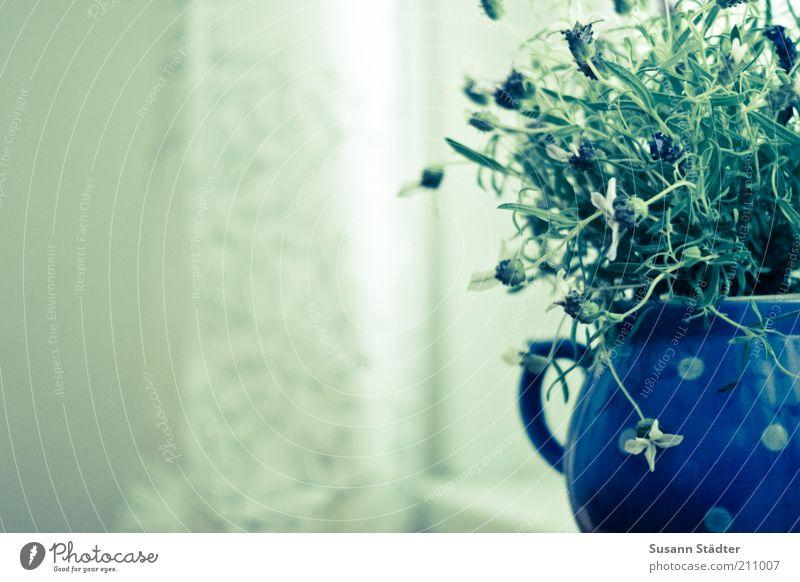 Lavendeltopf Natur schön grün Pflanze Fenster Wachstum Dekoration & Verzierung Punkt Kräuter & Gewürze Vorhang durcheinander Gardine Lavendel Kannen Blumentopf Fensterbrett
