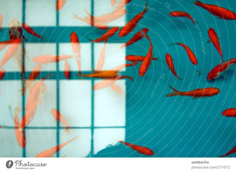 Füsche Wasser Tier Fenster Fisch Tiergruppe tauchen Zoo Unterwasseraufnahme Aquarium chaotisch exotisch Bewegungsunschärfe Goldfisch Flosse Schwarm