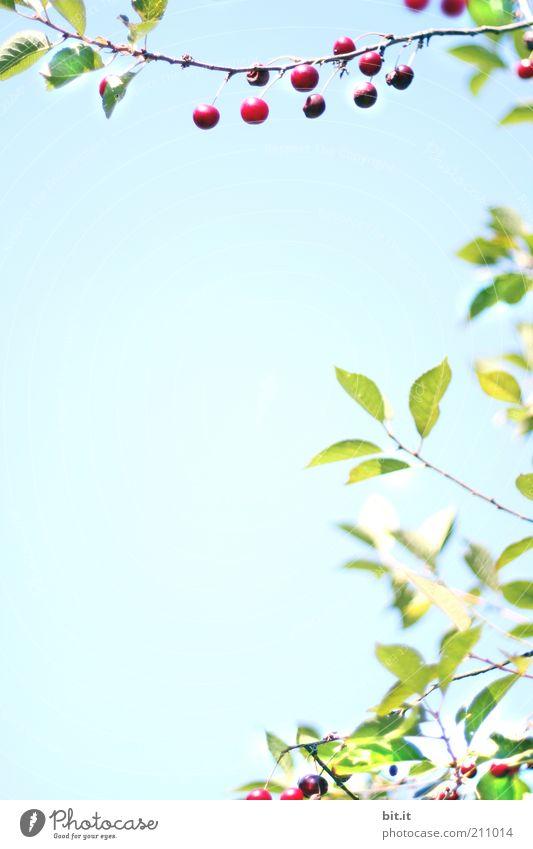 KIRSCH-LORBEER-KRANZ Stil Umwelt Natur Pflanze Luft Schönes Wetter Ornament blau Kitsch Wachstum Kirsche Kirschbaum Textfreiraum Hintergrundbild Lebensmittel