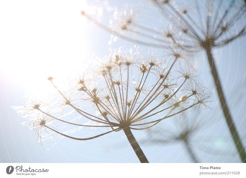Edles Unkraut Natur Himmel weiß Sonne Blume blau Pflanze Herbst Blüte Gras Wärme Luft hell glänzend elegant Wetter