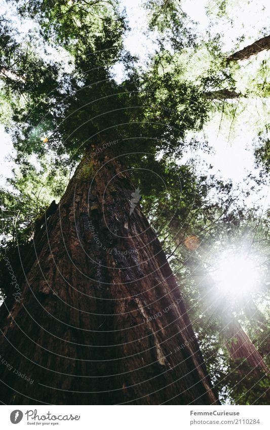 Roadtrip West Coast USA (233) Natur Mammutbaum Baum Baumkrone Baumstamm Westküste Blätterdach Sonnenlicht gigantisch beeindruckend Wald Waldpflanze Farbfoto