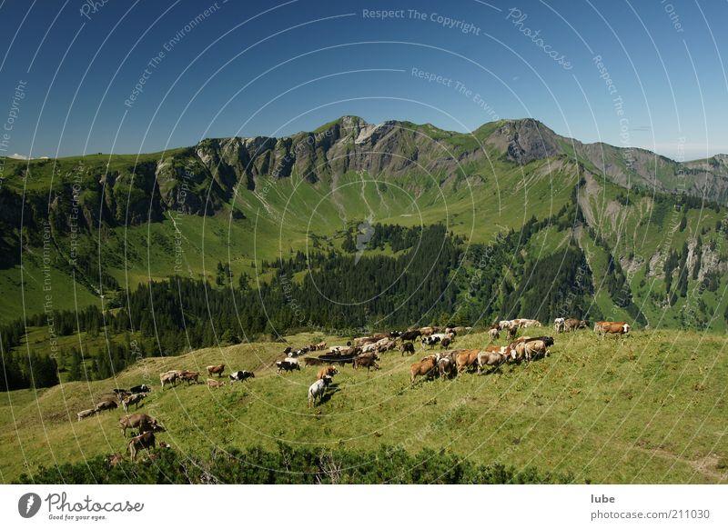 Viele Kühe machen Mühe Natur Sommer Ferien & Urlaub & Reisen Tier Ferne Wiese Berge u. Gebirge Freiheit Landschaft Zusammensein Umwelt Felsen Ausflug Abenteuer Tourismus Tiergruppe