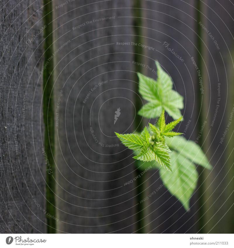 Befreiung Natur grün Pflanze Blatt Leben Garten Kraft Umwelt Wachstum Sträucher Zaun Grünpflanze Barriere Bretterzaun