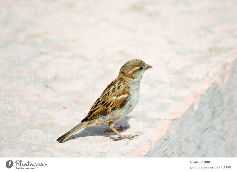 Spatz warf auf einem Stein auf Frau Natur blau weiß Tier Erwachsene Herbst klein Paar braun Vogel wild Feder niedlich Burg oder Schloss Schmetterling