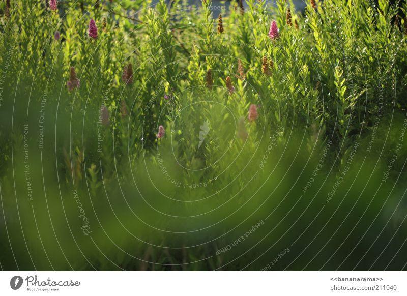 Grün im Abendlicht Natur Pflanze Sommer Schönes Wetter Gras Farn Grünpflanze exotisch Wiese Duft grün Grasland Blatt biologisch Unkraut Lichtspiel hell Weide