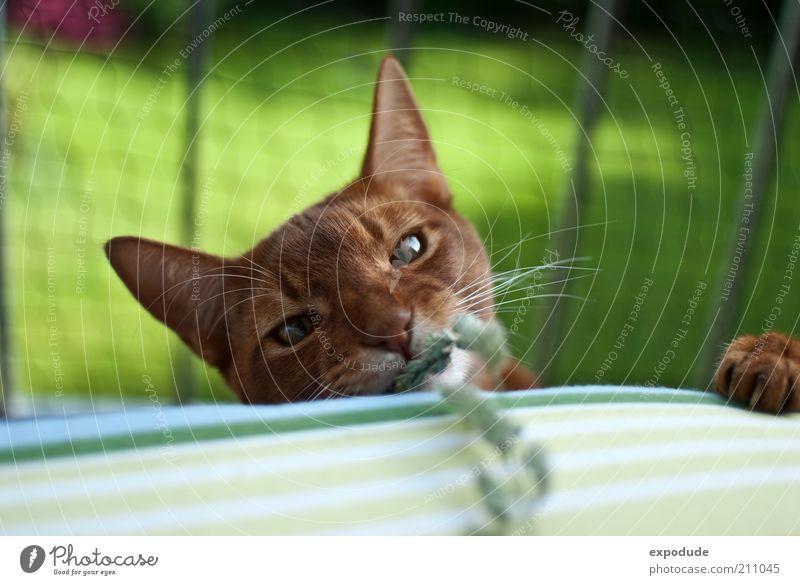 Spielende Katze Haustier Krallen Abessinier 1 Tier wild rot Freude Farbfoto Außenaufnahme Menschenleer Textfreiraum oben Tag Kontrast Schwache Tiefenschärfe