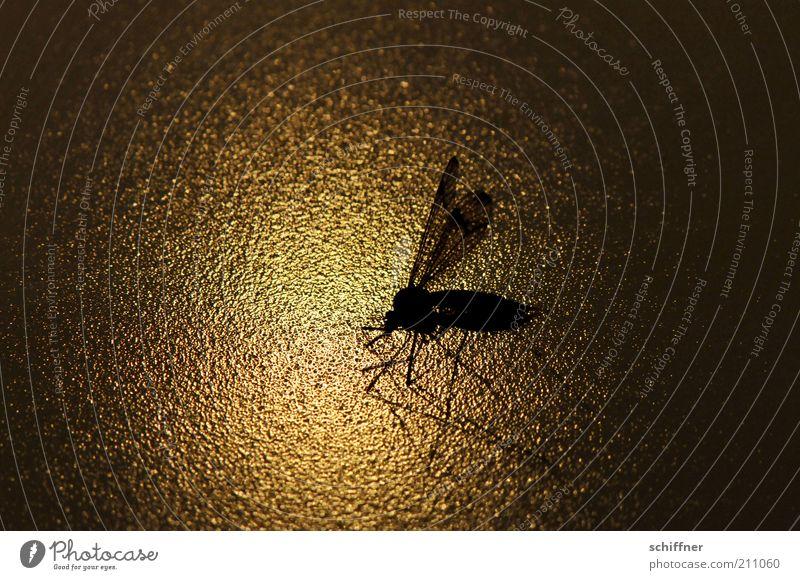 Flying home Natur Tier glänzend sitzen ästhetisch Flügel Insekt Schatten Textfreiraum Stechmücke Low Key Schnake